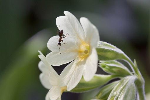 Cowslip, Harbinger Of Spring, Blossom, Bloom