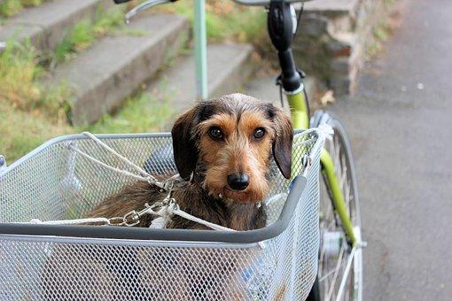 Dog, Kaninchen Dachshund, Wildcolour, Bicycle, Basket