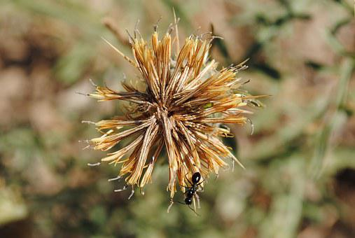 Ant, Dandelion, Field, Spring, Beauty, Nature, Plants