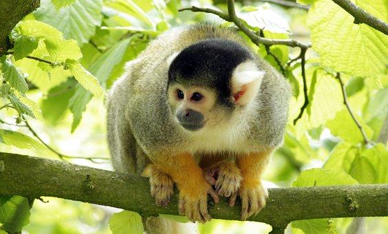 Monkey, Animal, Wild, Zoo, Look, Pygmy Marmoset, Monky