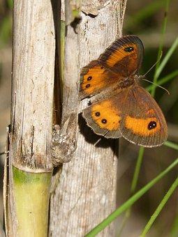 Butterfly, Lobito List, Orange, Pyronia Bathseba