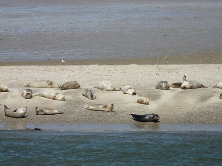 Seals, Phoca Vitulina, Crawl, North Sea, Baltrum