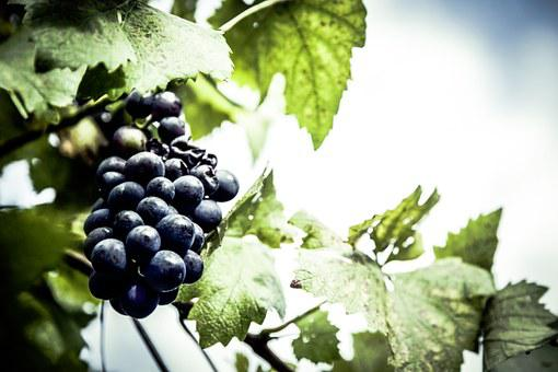 Grapes, Cultivation, Garden, Self Catering, Urban