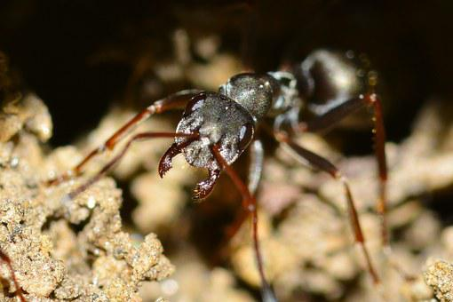 Insects, Serviformica, Cunicularia, Macro, Ant