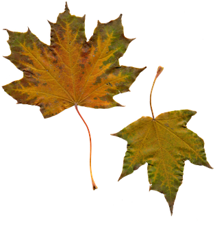 Leaves, Sheet, Maple, Autumn Leaves, Yellow Leaves