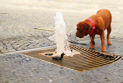 Dogue, Bordeaux, Street, Mastiffs, French, Two, Pet