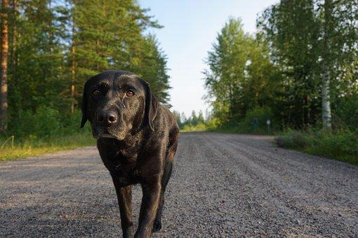 Labrador, Dog, Walk, Dirt Road, Country, Summer