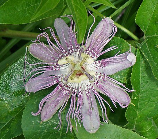 Passion Flower, Flower, Wild, Wildflower, Blossom