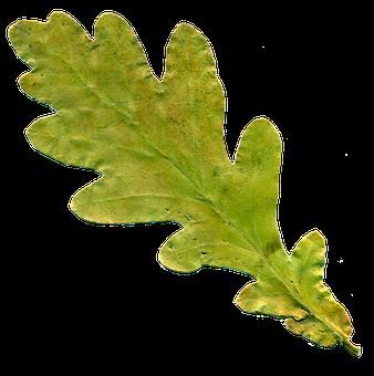 Sheet, Oak Leaf, Yellowed Sheet, Autumn, Nature, Oak