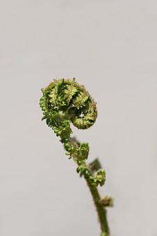 Fern, Young Fern, Green, Plant, Rolled Up, Close Up
