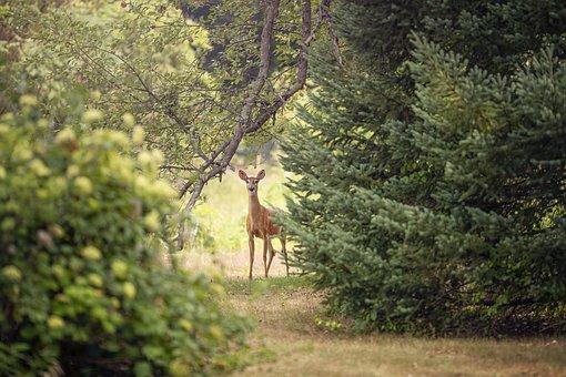 Roe Deer, Deer, Animal, Doe, Roe, Chevreuil