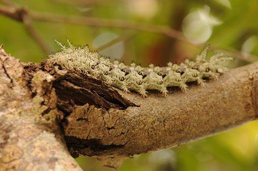 Caterpillar, Atlantic Rainforest, Brazil, Insect, Hairy