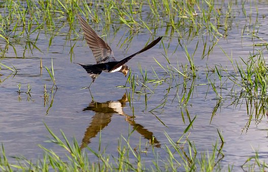Bird, Swallow, Barn Swallow, Avian, Water, Hunting