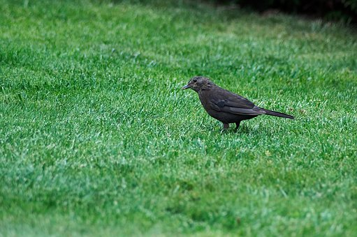 Blackbird, Songbird, Nature, Bird, Grass, Avian