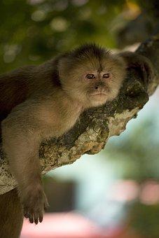 Monkey, Primate, Ape, Tree, Branch, Animal, Amazon