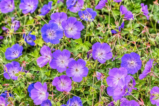 Cranesbill, Flowers, Plant, Blossom, Bloom