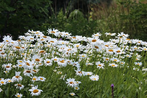 Daisies, Flowers, White Flowers, White Daisies