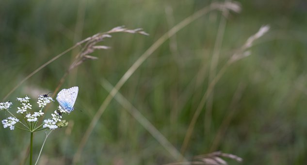 Blue Butterfly, Butterfly, Insect, Flower, Nature, Bug