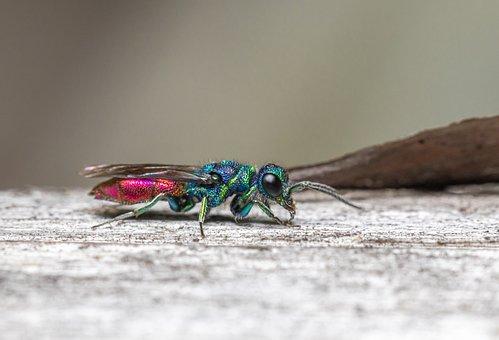 Cuckoo-wasp, Wood, Insect, Chrysis Ignita, Leaf, Wasp