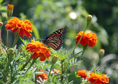 Butterfly, Monarch Butterfly, Insect, Nature, Insects
