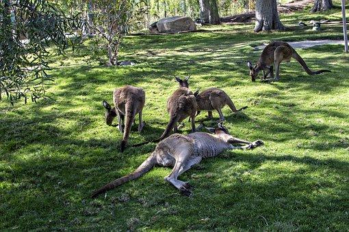 Kangaroos, Aussie, Australia, Wildlife, Marsupial