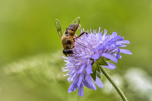 Bee, Blossom, Bloom, Pollen, Nectar, Honey Bee, Nature