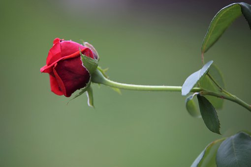 Red Velvet Rose, Rose, Bud, Flower, Romantic, Blooming
