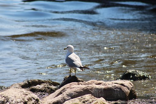 Bird, Seagull, Marine, Water, Sea, Rocks, Stones