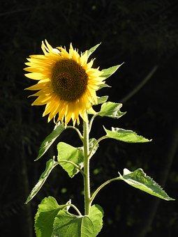 Nature, Sunflower, Yellow, Summer