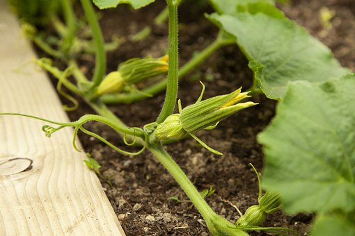Squash, Flowers, Trailing, Vine, Gardening, Summer