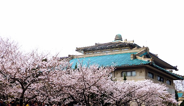 Wuhan, Wuhan University, Cherry Blossom, Trees