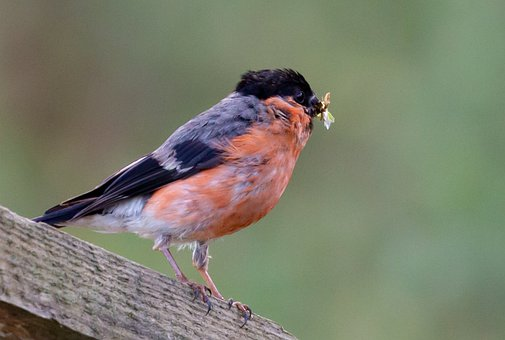 Bullfinch, Bird, Animal, Avian, Songbird, Wildlife