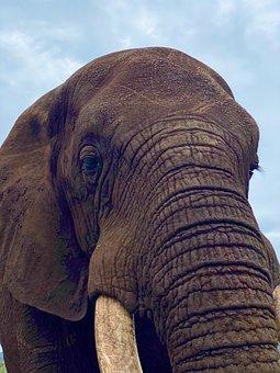 Elephant, Pachyderm, Mammal, Trunk, Animal, Wildlife