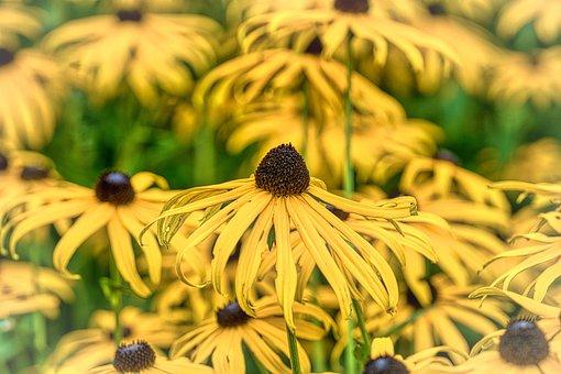 Coneflower, Blossom, Bloom, Flowers, Yellow Flower