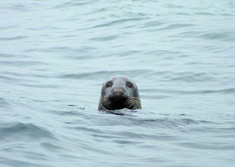 Seal, Atlantic Grey Seal, Sea, Ocean, Animal, Mammal