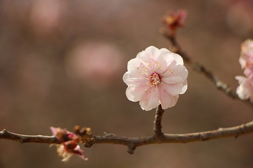 Flower, Petals, Tree, Branch, Plant, Plum, Blossom