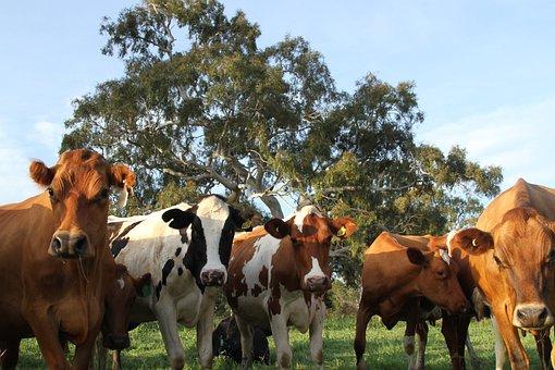 Cows, Cattle, Mammals, Animal, Livestock, Grass, Field