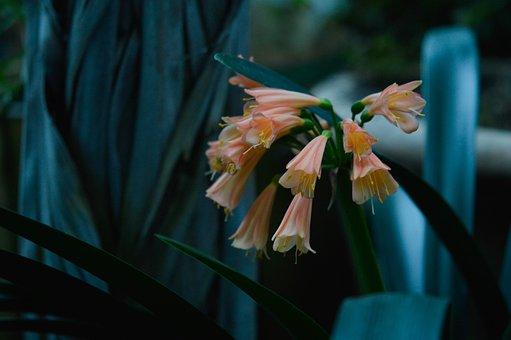 Botany, Clivia, Cluj Napoca, Floral, Flower