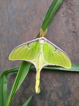 Luna, Moth, Luna Moth, Insect, Fly, Wings