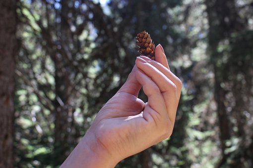 Hand, Pinecone, Pine, Nature, Woman