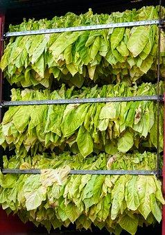 Tobacco, Harvest, Leaves, Palatinate