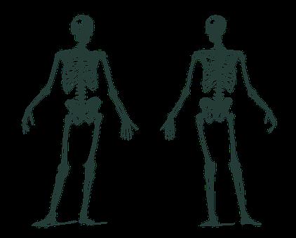 Human Skeleton, Skeletons, Anatomy, Bones, Human