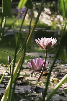 Waterlily, Lotus Flower, Lily Pads, Flowers, Flora