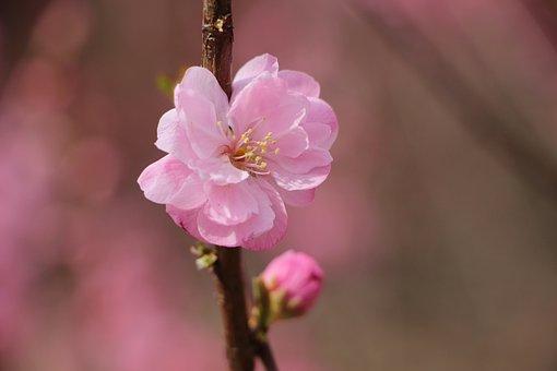 Plum Blossom, Plum Blossom Tree, Tree, Spring Flower