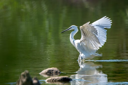 Royal Garsa, Ave, Water Bird, Animals, Wings, Nature