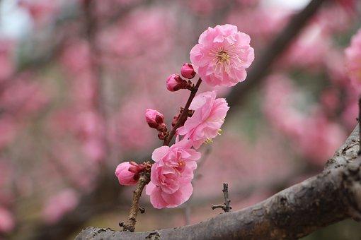 Plum Blossom, Spring Flower, Plum Blossom Tree, Tree