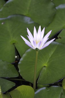 Waterlily, Lily Pads, Flower, Flora, Bloom, Blossom