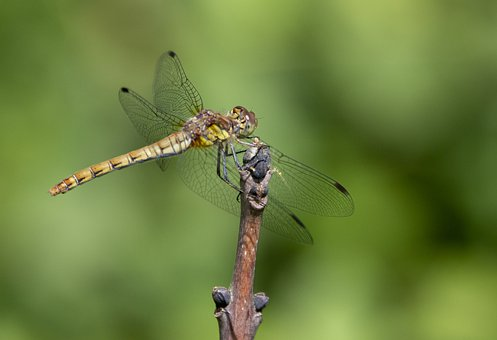 Dragonfly, Wings, Bug, Insect, Branch, Entomology