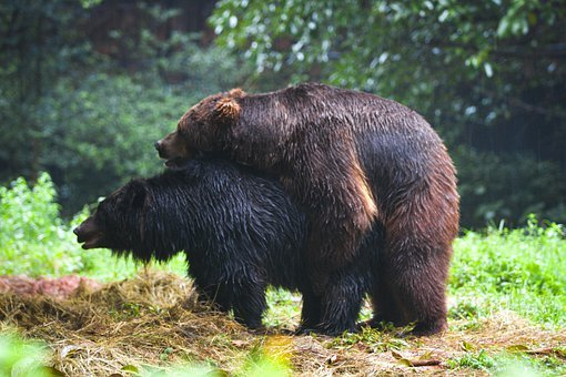 Bears, Animals, Grizzly Bear, Playing, Sex, Mating