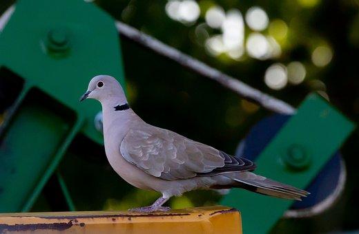 Collared Dove, Dove, Pigeon, Flying Rat, Nature, Bird